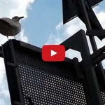 seagull pecking – animation reference