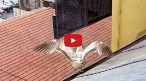 seagull landing on sloped roof – animation reference